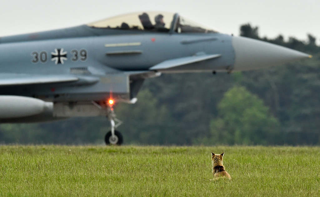 . A red fox sits in front of a Eurofighter Typhoon combat jet on the grounds of the 2014 ILA Berlin Air Show, in Selchow near Schoenefeld, Germany, Thursday, May 15, 2014. The International Aviation and Aerospace Exhibition ILA will take place from May 20 until May 25, 2014. (AP Photo/dpa, Patrick Pleul)