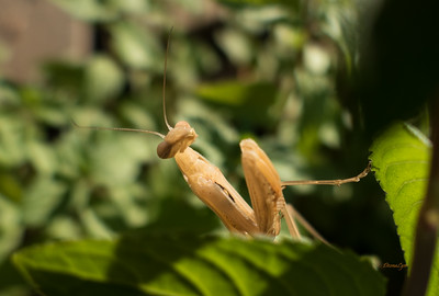 Praying Mantis-Stock Photos