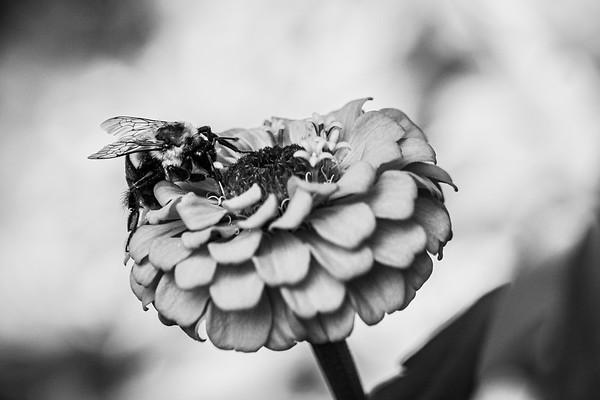 Garden Bee B&W