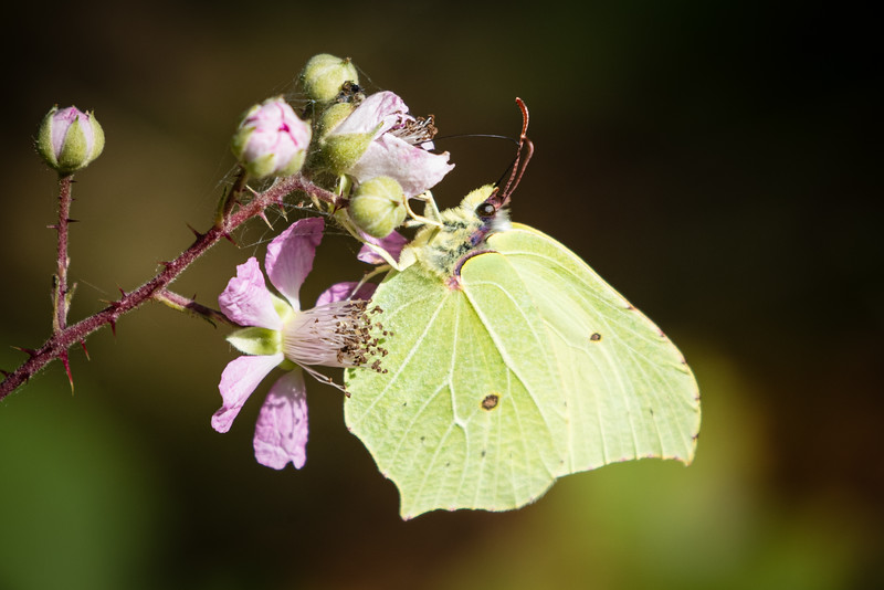 Brimstone on a Bramble Flower
