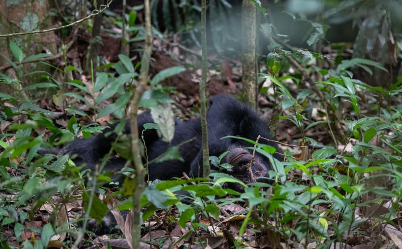 Uganda_T_Chimps-239.jpg