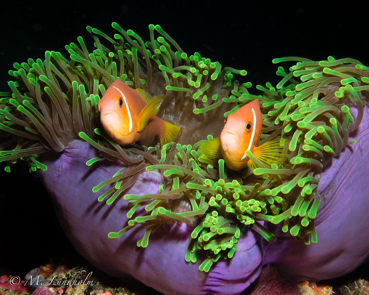 Black-Footed Anemonefish