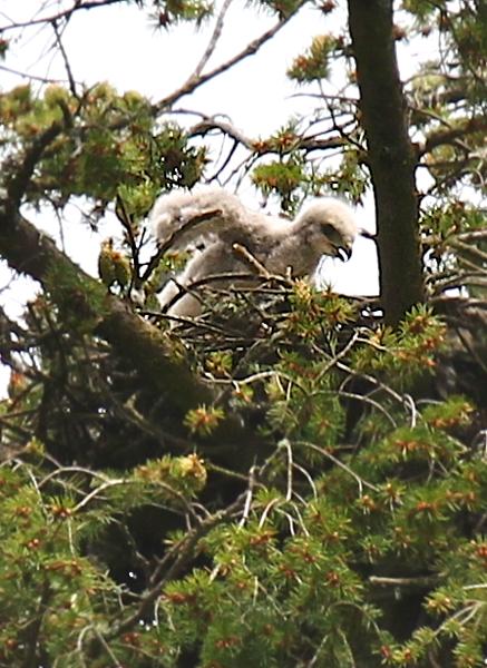 May 19, 2012 Hawk babies   4449.png