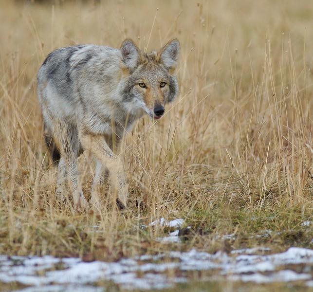 Coyote pounce Yellowstone WY IMG_0005988.jpg