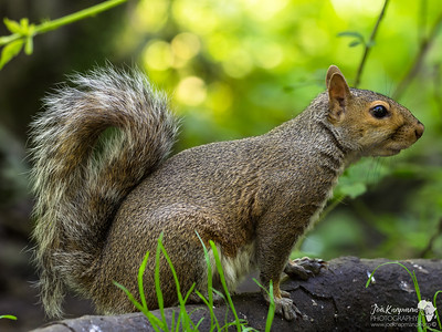 Grey Squirrel Profile