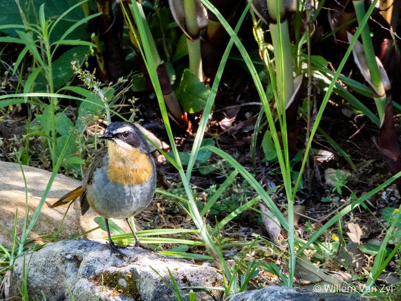 Cape Robin-chat (Dessonornis caffer) from Kirstenbosch Botanical Gardens, Cape Town