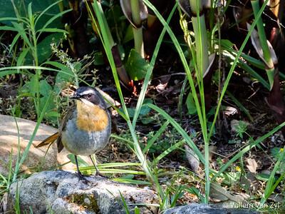Cape Robin-chat (Dessonornis caffer)
