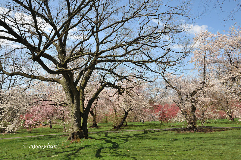 April 16_BranchBrookCherryBlossoms_7341.jpg