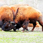 Bison Fighting # 2.jpg