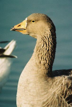 BIRDS: Ducks, Swans & Geese (Anatidae)