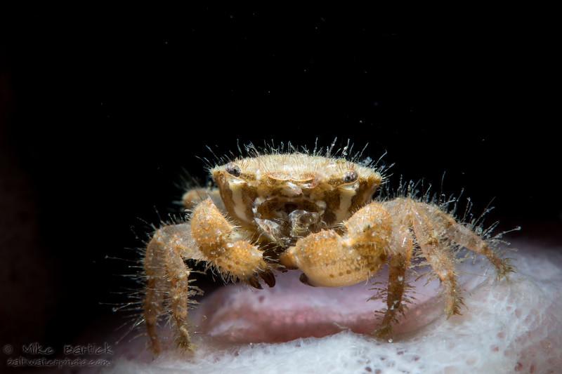 striped crab (1 of 1).jpg