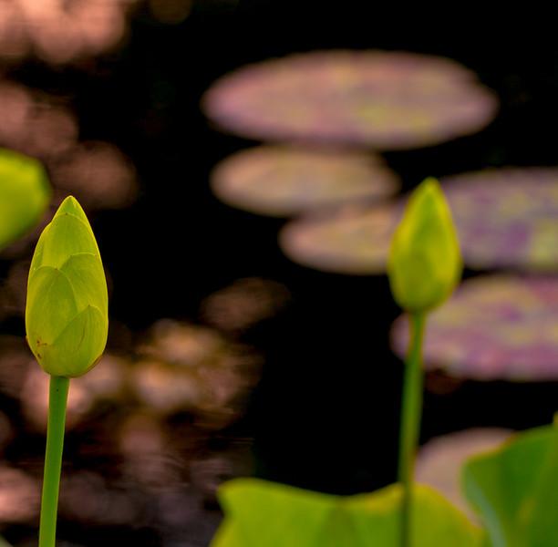 Lily  Pond 15