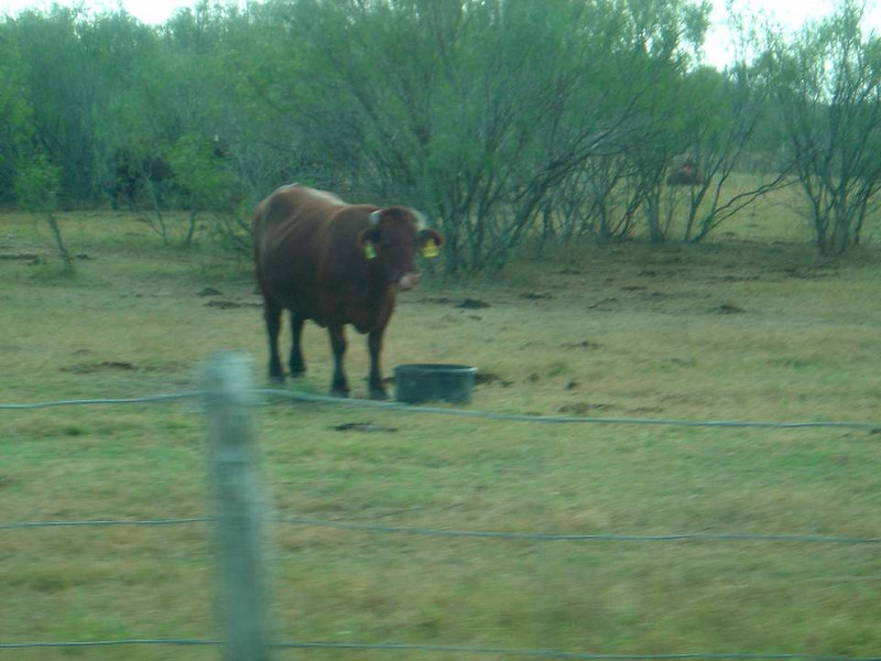 DSC03563-Sant Gertrudis Cow-King Ranch Tour-Thanksgiving-Kingsville TX- Nov 2008.jpg
