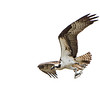 Osprey with dinner.