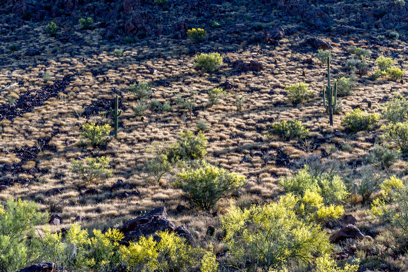 Buffelgrass Spreads Exponentially #2