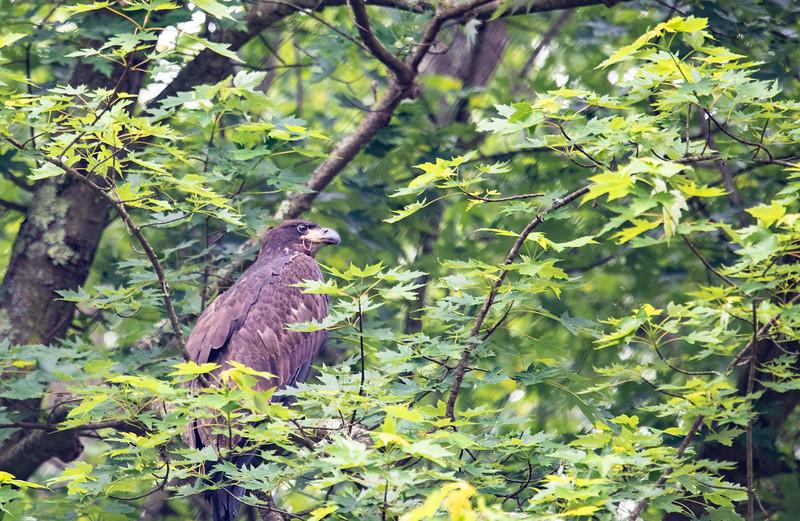 2019-06-16 NJ-Kayaking Wallkill River - Baby Eaglets-DSC_5938-020.jpg