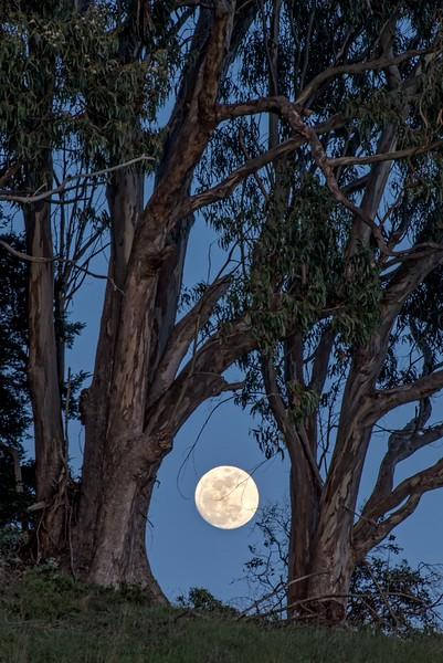 Eucalyptus Moon, Sea Ranch, California