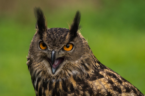 Raptors, Owls