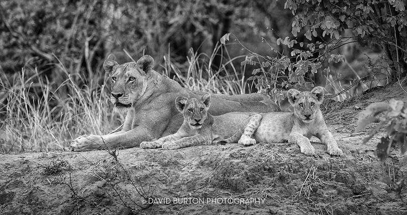 Bili_Lion-n-cubs_9276cc2fx-blknwht-web.jpg
