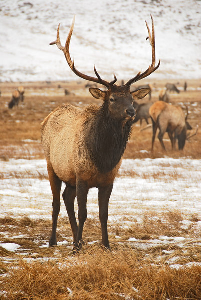 Elk   (Dec 13, 2006, 02:39pm)  Picture taken from a wagon (in the rain) at the National Elk Refuge in Jackson Hole.