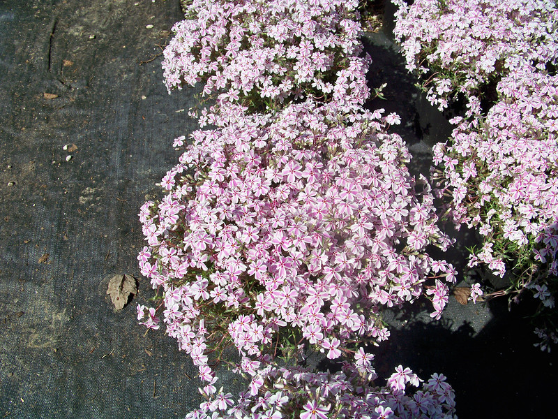 Phlox 'Candy Stripe' 