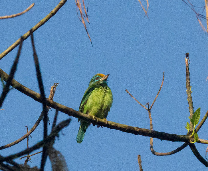 Yellow-fronted Barbet (Endemic)