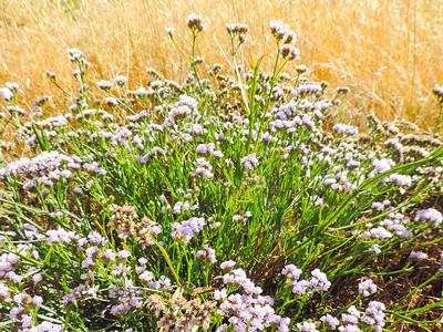 Sea-lavender (Limonium sinuatum)