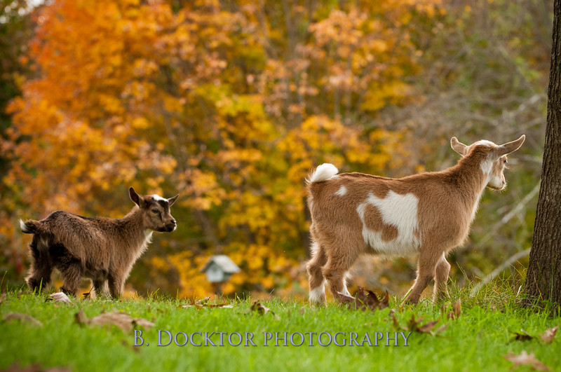 1310_Nigerian dwarf goats_111.jpg