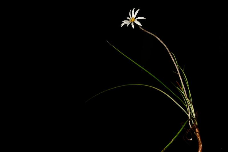 Celmisia graminifolia