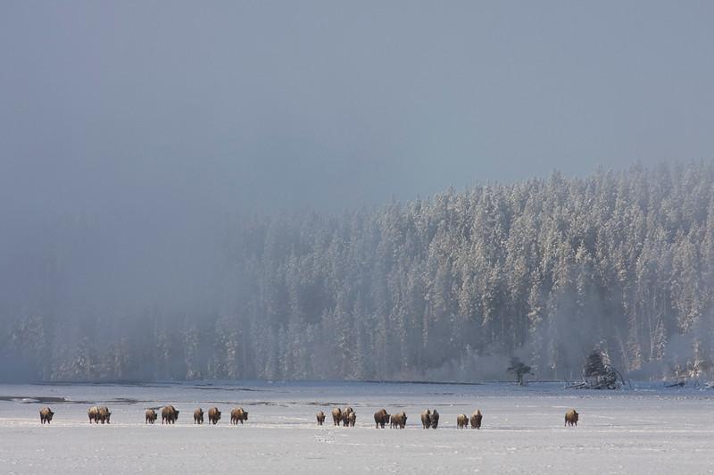bison-ynp4.jpg