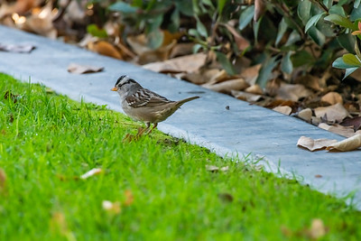 White-crowned Sparrow [Zonotrichia leucophrys]