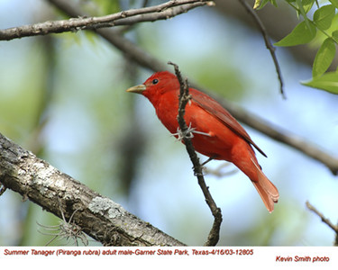 Summer Tanager M12805.jpg