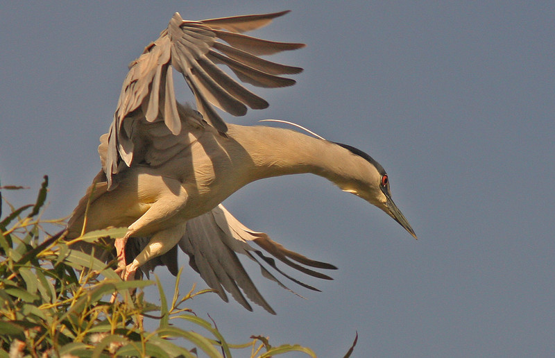 WB~Rookery night heron jumpoff tree1280.jpg