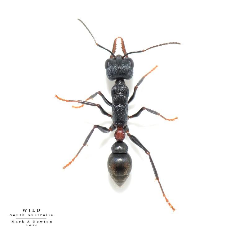 Myrmecia pilosula species group - unknown ID