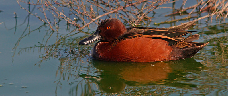 Cinnamon Teal, Radio Road