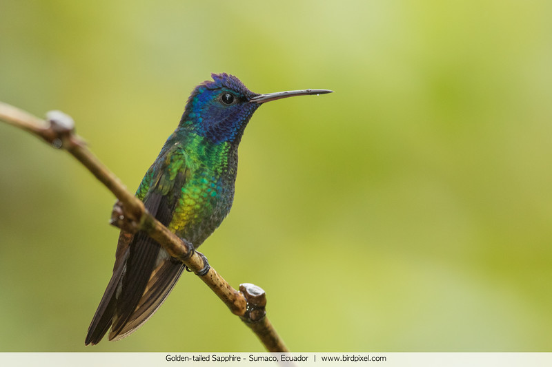 Golden-tailed Sapphire - Sumaco, Ecuador