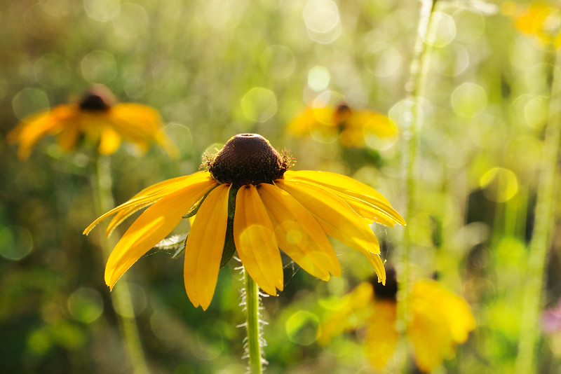 "This little black-eyed susan is newly opened -- ""soft as a baby's bottom."""