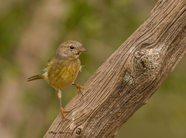 Orange-crowned Warbler?_DWL0002.jpg
