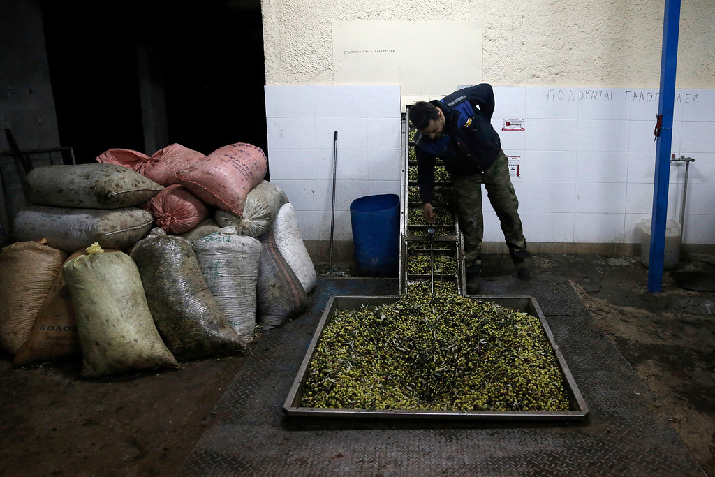 . In this Saturday, Nov. 30, 2013 photo, Christos Vasilopoulos operates machinery as olives are loaded onto a conveyor belt at a family-owned olive oil business in Velanidi village, 320 kilometers (200 miles) west of Athens. Plans to extend a brutal efficiency drive to olive oil production in Greece have been met with anger and disbelief. If proposals from a government funded study are adopted, olive oil blended with cheaper vegetable oils will soon go on sale as part of an effort to modernize Greece\'s economy, which was rescued from near bankruptcy four years ago. (AP Photo/Petros Giannakouris)