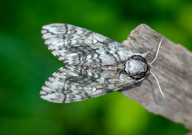 Ceratomia undulosa Waved Sphinx 7787 Family Sphingidae moth Skogstjarna Carlton County MN DSC02424.jpg