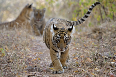 Tiger cubs and their mother