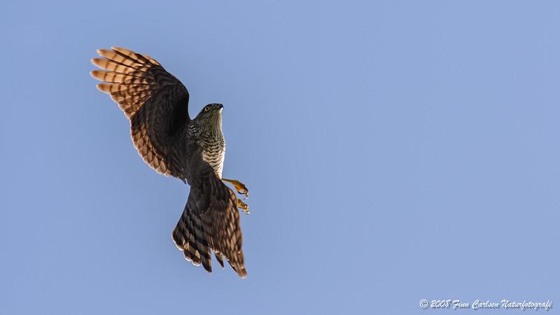 Spurvehøg (Accipiter nisus - Eurasian Sparrowhawk)