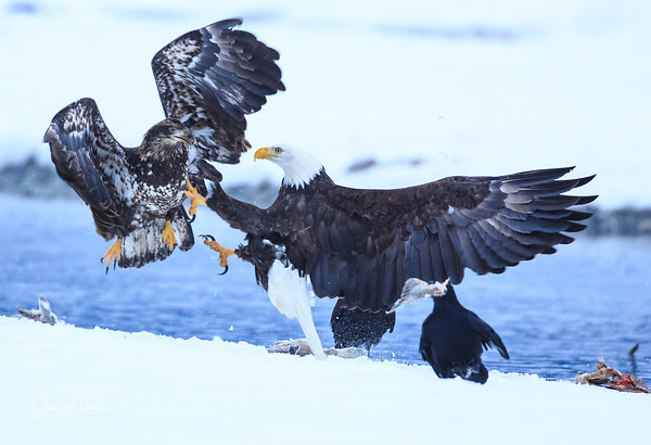 Eagles of the Chilkat River