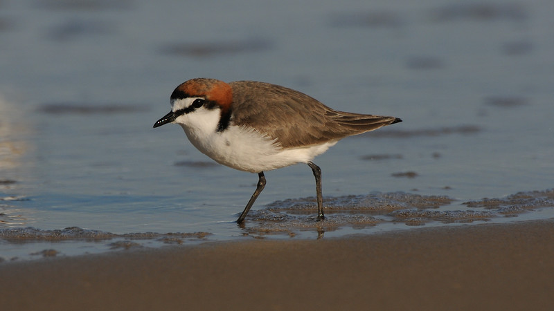 Red-Capped Plover, Charadrius ruficapillus. Fraser Is. Australia.