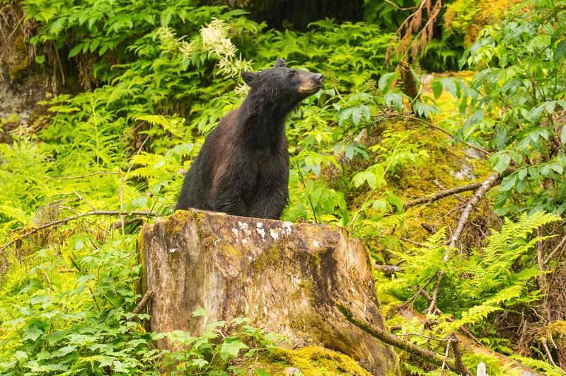 Anan Bears 15.jpg