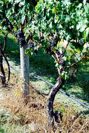 Fall Grapes