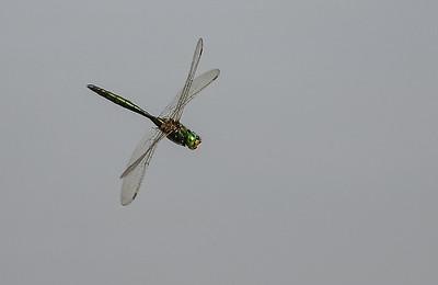 Swedish Dragonflies and Damselflies/ Svenska trollsländor och jungfrusländor