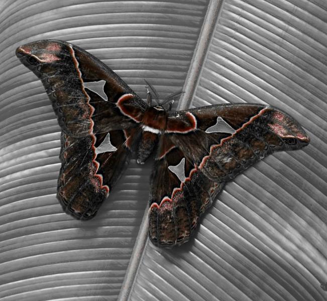 Owl Butterfly (Caligo eurilochus) Bosque de Paz Reserva Biologica