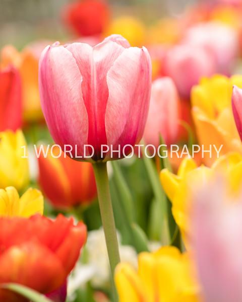 Holland, MI, Tulips -35-65.jpg
