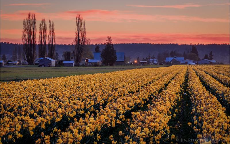 Daffodil fields at sunset - Skagit Valley, Washington